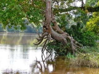 arbre au bord de la Kadey