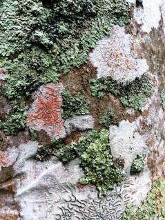 lichens sur stipe de palmier 4