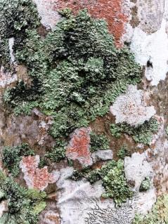 lichens sur stipe de palmier 2